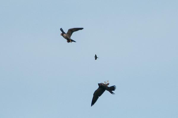 Peregrine Falcon  - Falco peregrinus 4138