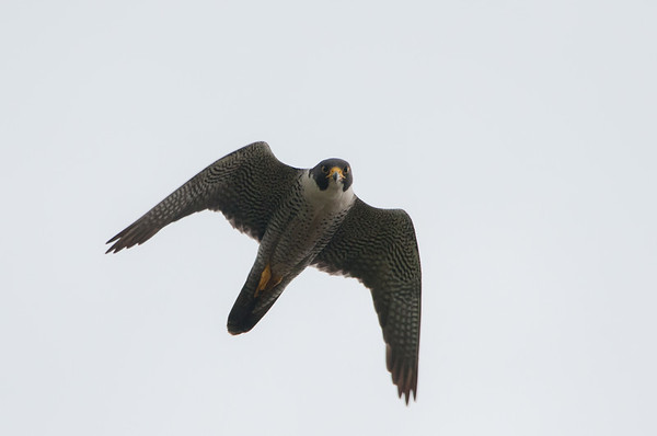 Peregrine Falcon  - Falco peregrinus 5467