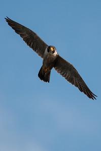 Peregrine Falcon  - Falco peregrinus 7614