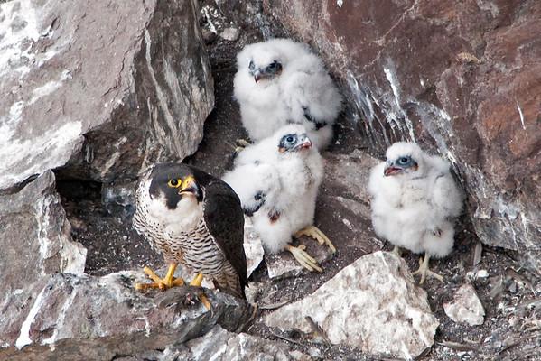 Peregrine Falcon  - Falco peregrinus 6593