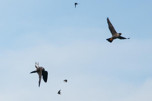 Peregrine Falcon  - Falco peregrinus 4145