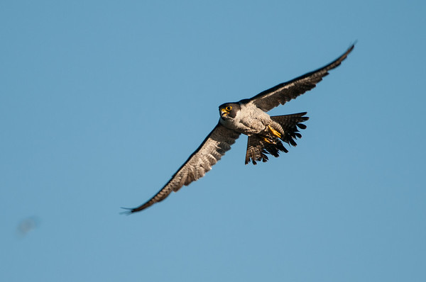 Peregrine Falcon  - Falco peregrinus 6083