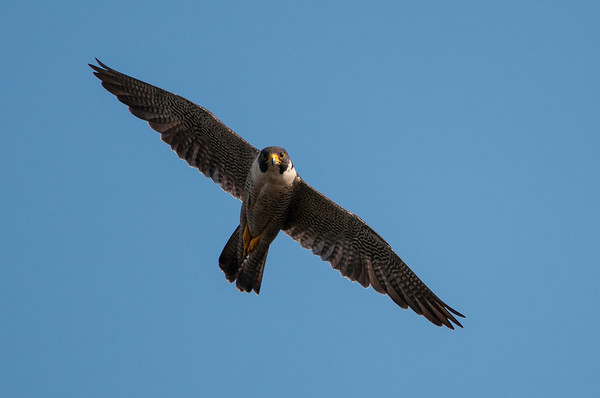 Peregrine Falcon  - Falco peregrinus 7615