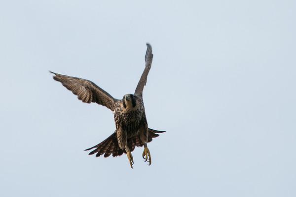 Peregrine Falcon  - Falco peregrinus 6016
