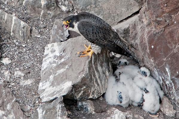 Peregrine Falcon  - Falco peregrinus 6516