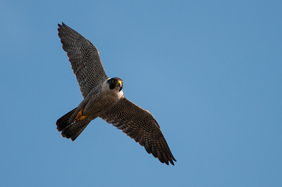 Peregrine Falcon  - Falco peregrinus 7618