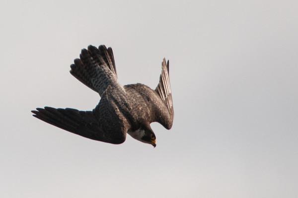 Peregrine Falcon  - Falco peregrinus 7638