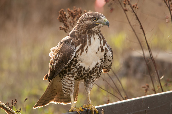 Red-tailed Hawk 5927