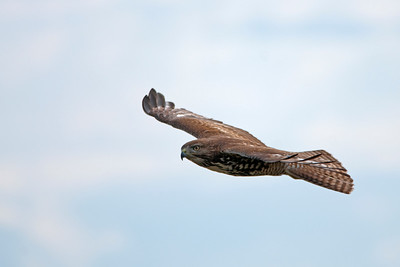 Red-tailed Hawk 2045