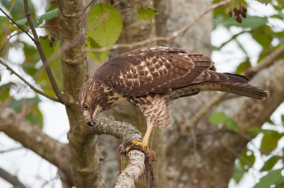Red-tailed Hawk 6203