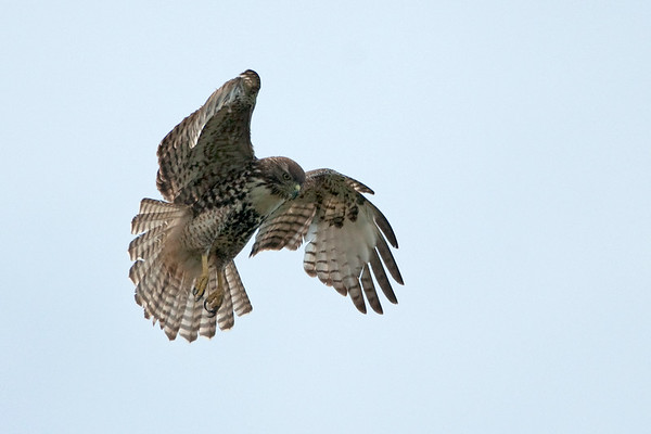 Red-tailed Hawk 1842