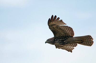 Red-tailed Hawk 2052