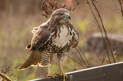 Red-tailed Hawk 5926