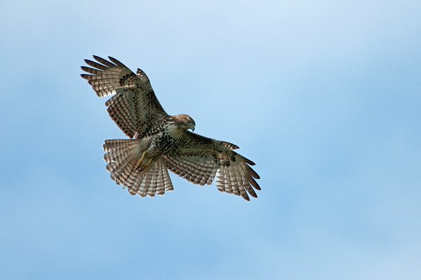 Red-tailed Hawk 1838
