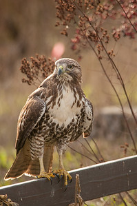 Red-tailed Hawk 5934