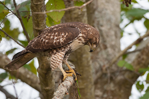 Red-tailed Hawk 6257
