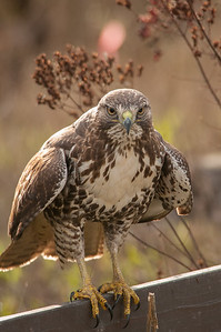 Red-tailed Hawk 5938