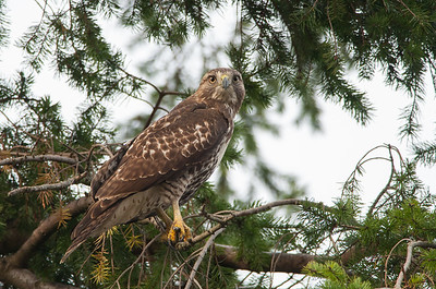 Red-tailed Hawk 5839