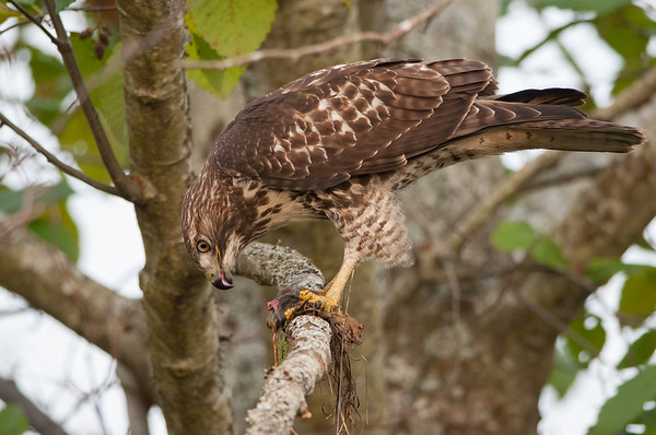 Red-tailed Hawk 6209