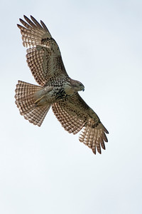 Red-tailed Hawk 1968