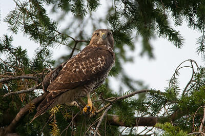 Red-tailed Hawk 5865
