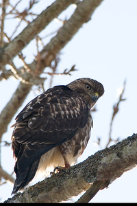 Red-tailed Hawk 4063