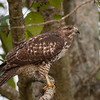 Red-tailed Hawk 6279