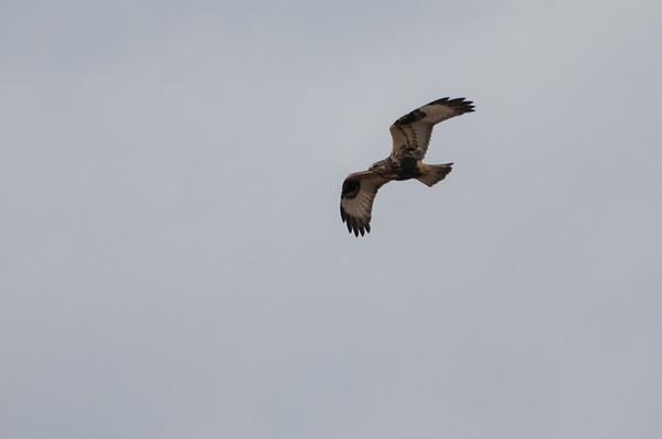 Rough-legged Hawk,  Buteo lagopus 5612