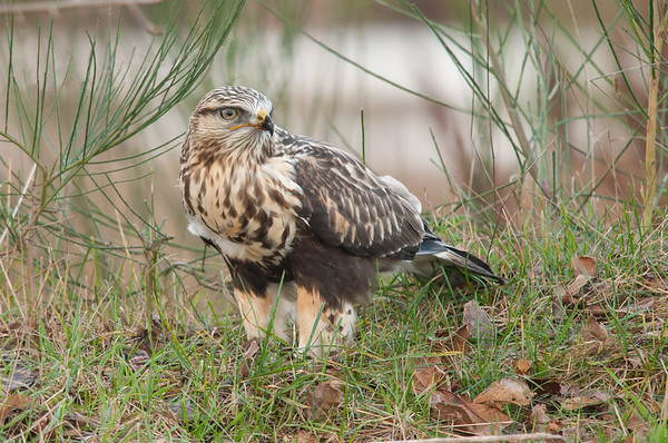 Rough-legged hawk