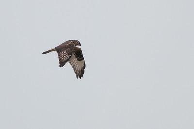 Rough-legged Hawk,  Buteo lagopus 5628