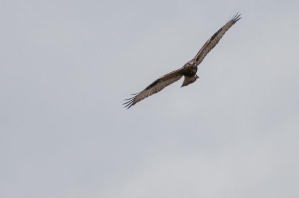 Rough-legged Hawk,  Buteo lagopus 5610