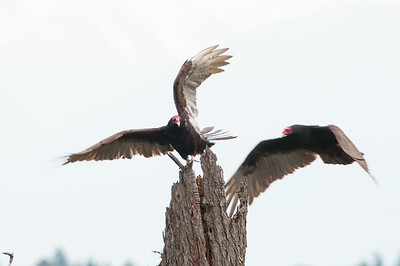 Turkey Vulture 6083