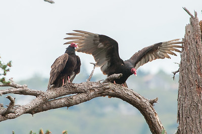 Turkey Vulture 6106