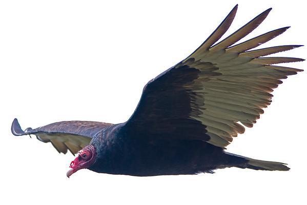 Turkey Vulture 3518