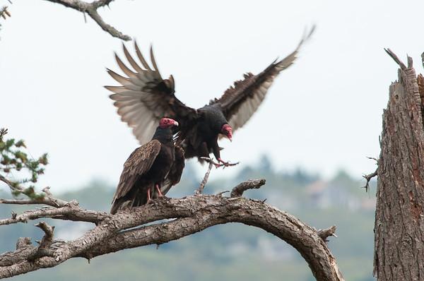 Turkey Vulture 6103