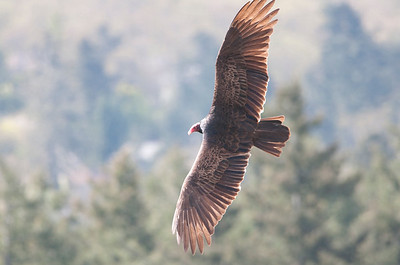 Turkey Vulture 3565