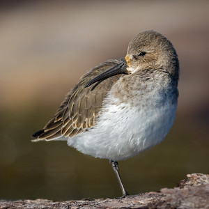 Dunlin on the boom