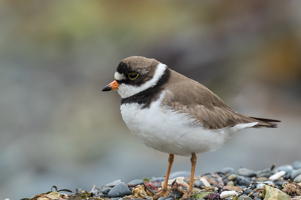 Semipalmated Plover breeding plumage