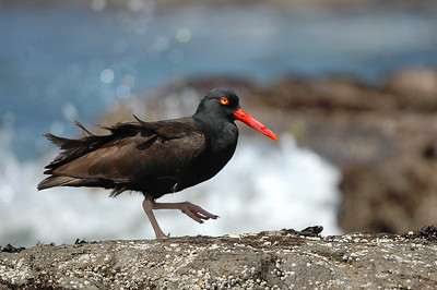 Black Oystercatcher This large shorebird stands out with dark black feathers and a bright orange beak. It can often be found mixed with other sandpipers. It is often heard with its loud queep, vocalizing loudly before taking flight. Small population is at risk of human activity especially on northern nesting grounds, kayakers and boaters should avoid beaches where nesting is taking place.
