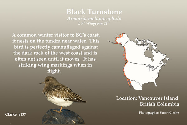 A common winter visitor to BC's coast, it nests on the tundra near water.  This bird is perfectly camouflaged against the dark rock of the west coast and is often not seen until it moves.  It has striking white wing bars when in flight.