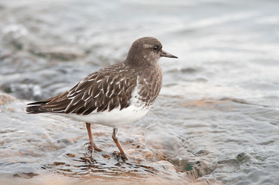 Black Turnstone - Arenaria melanocephala  A common winter visitor to BC's coast, it nests on the tundra near water. This bird is perfectly camouflaged against the dark rock of the west coast and is often not seen until it moves. It has striking white wing bars when in flight