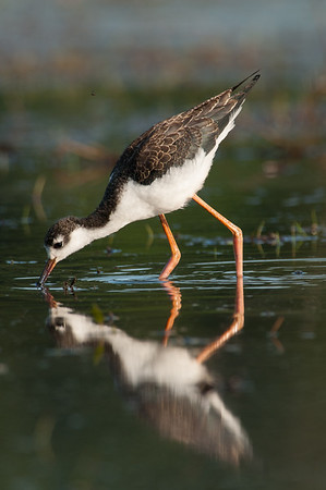 Black-necked Stilts- first documented nesting pairs on Vancouver Island- 7 chicks raised
