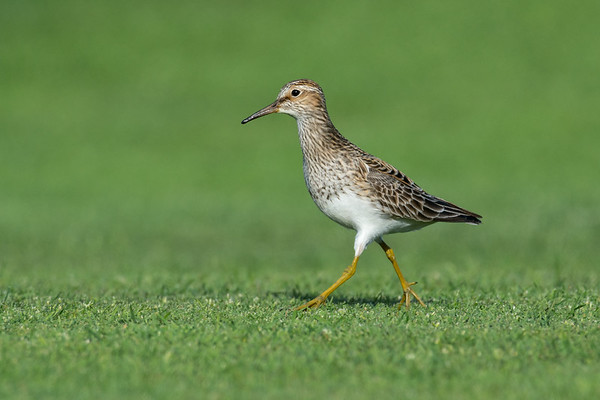 Pectoral Sandpiper - These little speedsters were very tough to catch as they ran around looking for food.  Species 145