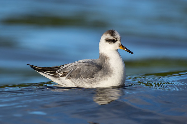 Red Phalarope - May not be local but still on the island for species 180 for the year.  A trip out to Tofino got me two lifers, the Red Phalaropes and a Tropical Kingbird.  I haven't been out to Tofino in close to 16 years and forgot how incredible the wild Pacific Coast can be.  The ocean was in as wild a state as I have ever seen. huge surf, quite spectacular I will definitely have to get back there soon for an extended trip.