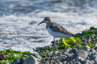 Sanderling - species 163  After a bit of debate of what species of sandpiper this was, my good buddy Mike Ashbee came through with a positive id of Sanderling.   A bird i am sure I have seen before but never id'ed so not only a new one for the year but also a lifer.