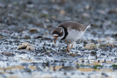 Semipalmated Plover - A quick stop at a local beach at sunset provided me with species 140 for the year.  Not a rare bird but a tougher one to find on the island.  I had only caught distant glimpses over the years, so was very surprised when one literally dropped down right in front of me.    The setting sun really helped set the scene as this plover fed on crabs and lug worms.