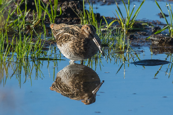 Wilson's Snipe - after many sightings with only a few shots as they flew off into the distance I was finally able to get photos I am happy with of this very difficult species to photograph.