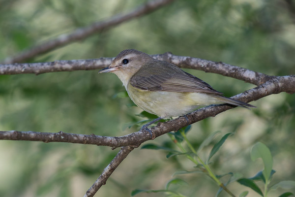 Warbling Vireo - First sighting of the year sp 132