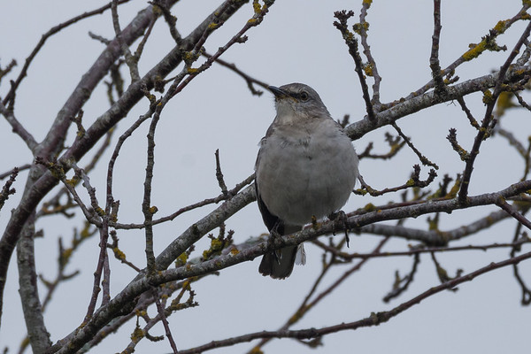 Northern Mockingbird - a late afternoon text alerted me to a Northern Mockingbird hanging out in the backyard of a fellow birder.  A quick run up to Duncan for species 184 for the year and another lifer.