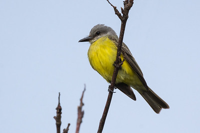 Tropical Kingbird - a run out to Tofino got  me 3 new species for the year. This Kingbird is 179 for the year and a lifer as well.